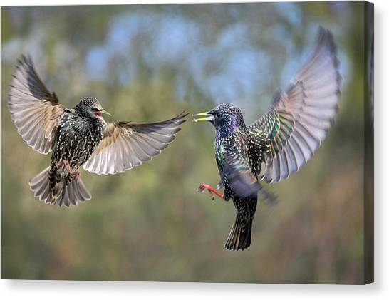 Starlings Canvas Print - European Starlings Fighting by Simon Booth/science Photo Library