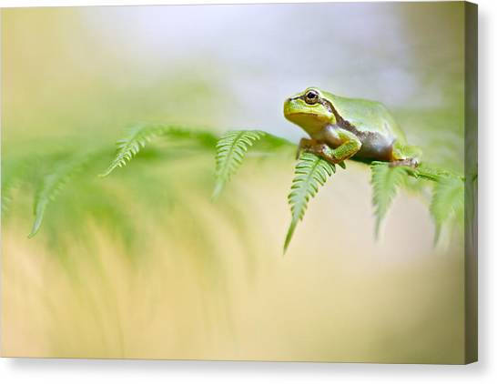 Frog Canvas Print - European Tree Frog by Dirk Ercken