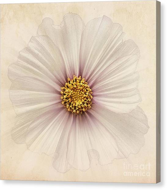 Cosmos Flower Canvas Print - Evanescent by John Edwards