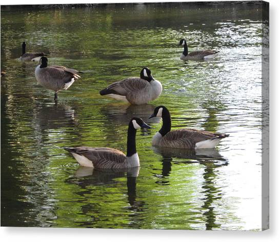 Evening Geese Gathering Canvas Print