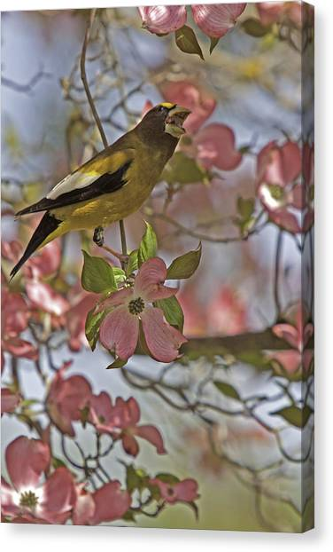 Evening Grosbeak Canvas Print