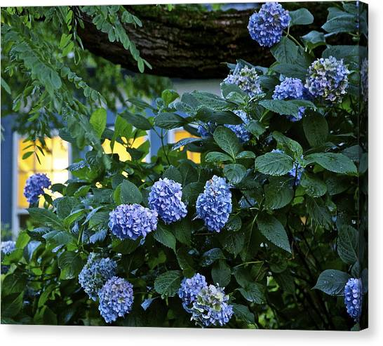 Evening Hydrangeas Canvas Print