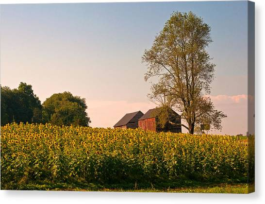 Evening On The Sunflower Farm Canvas Print