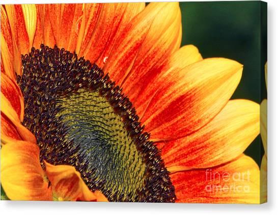 Evening Sun Sunflower Canvas Print
