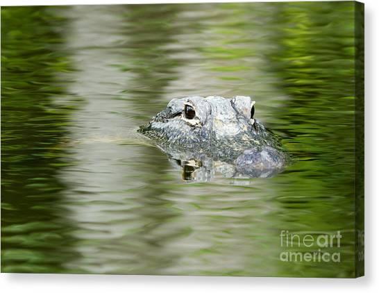 Everglades 'gator Canvas Print