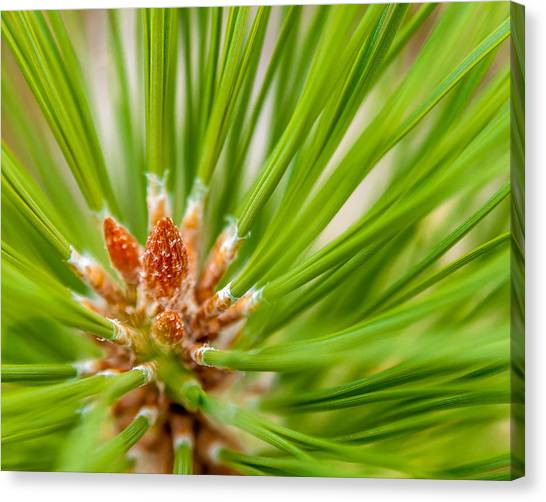 Evergreen 001 Canvas Print