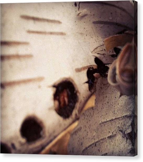 Woodpeckers Canvas Print - Evidence Of Woodpeckers On White Birch by Elizabeth Bryant