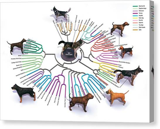 Shih Tzus Canvas Print - Evolution Of Dog Breeds by Jose Antonio Penas/science Photo Library
