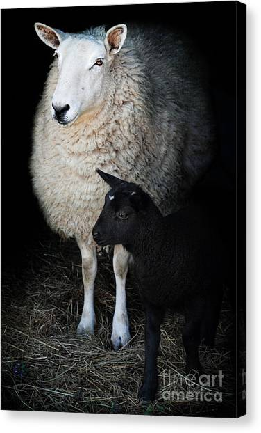 Ewe With Newborn Lamb Canvas Print