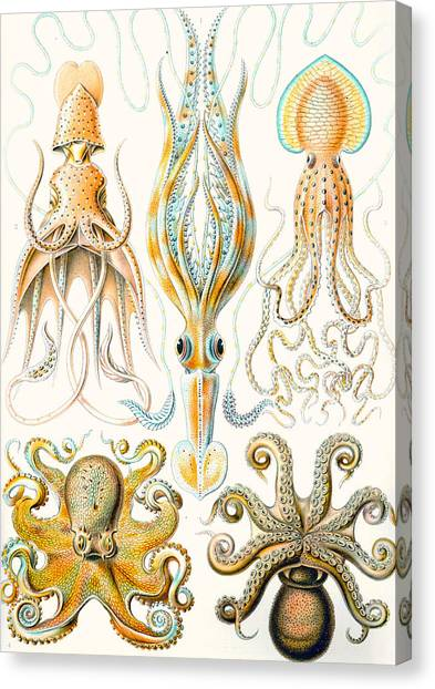 Squids Canvas Print - Examples Of Various Cephalopods by Ernst Haeckel