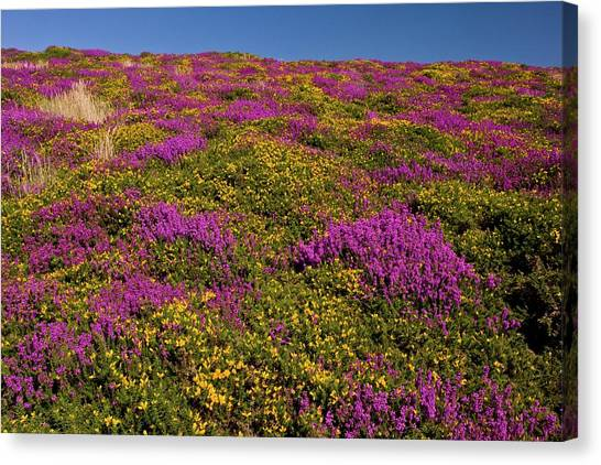 Moorland Canvas Print - Exmoor by Bob Gibbons/science Photo Library