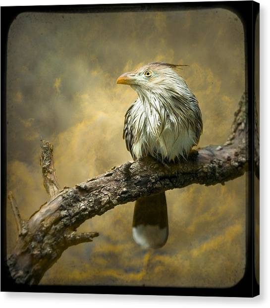 Exotic Bird - Guira Cuckoo Bird Canvas Print