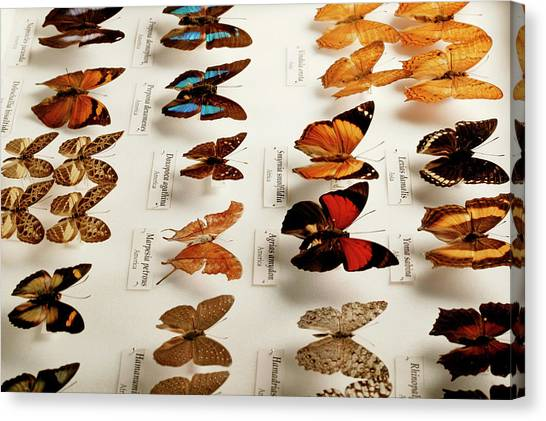 Exotic Butterfly Collection Canvas Print by Mauro Fermariello/science Photo Library