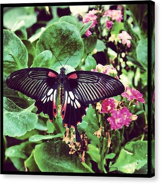 United Kingdom Canvas Print - Exotic Wings by Gina ODonoghue