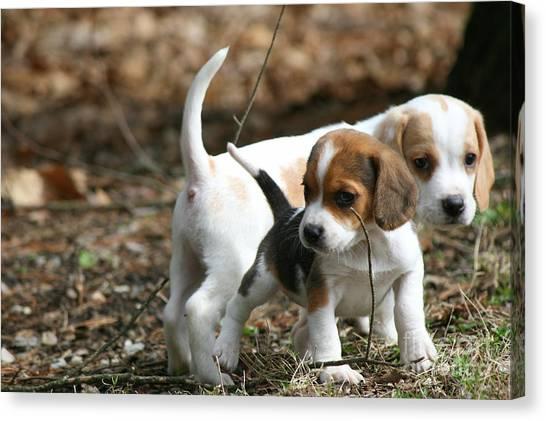 Exploring Beagle Pups Canvas Print