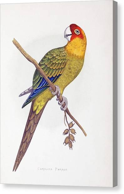 Parakeets Canvas Print - Extinct Carolina Parrot Parakeet America by Paul D Stewart