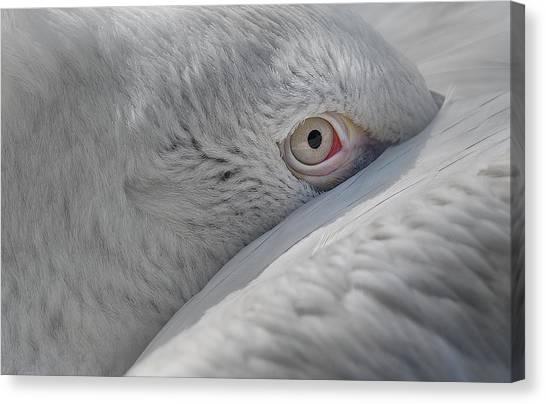 Pelicans Canvas Print - Eye by C.s. Tjandra