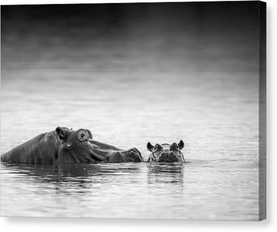 Hippos Canvas Print - Eye Level by Jaco Marx