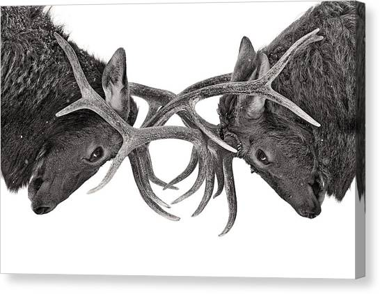 Quebec Canvas Print - Eye To Eye - Elk Fight by Jim Cumming