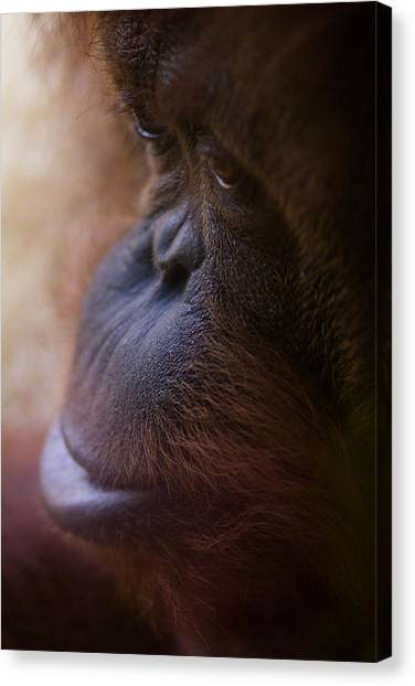 Orangutan Canvas Print - Eyes by Shane Holsclaw