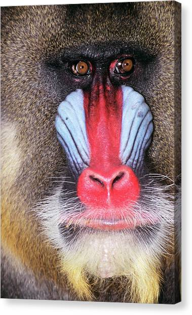 Nigeria Canvas Print - Face Of Male Mandrill Baboon Mandrillus by Animal Images