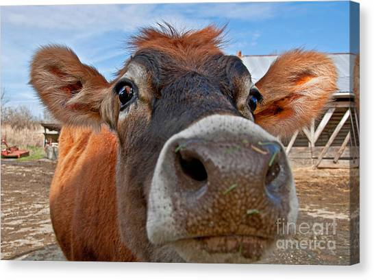 Face Of Young Jersey Cow Heifer Canvas Print