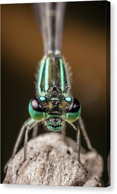 Face To Face With Damselfly Canvas Print