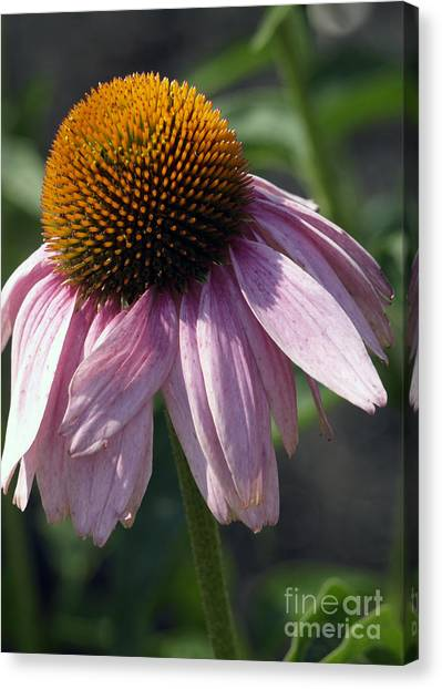 Fading Coneflower Canvas Print