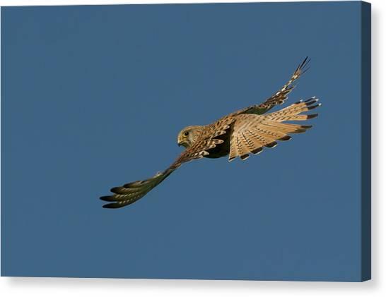 Falcon Canvas Print by Torbjorn Swenelius