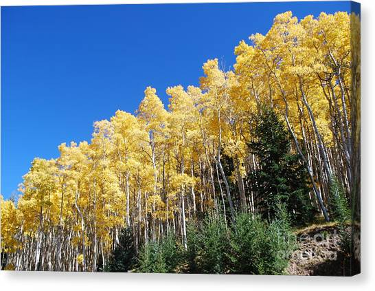 Fall Aspens Of New Mexico Canvas Print