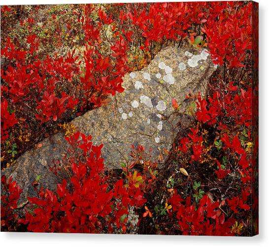 Fall Blueberries And Moss-h Canvas Print