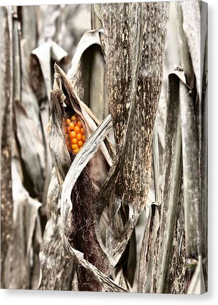 Fall Corn Canvas Print