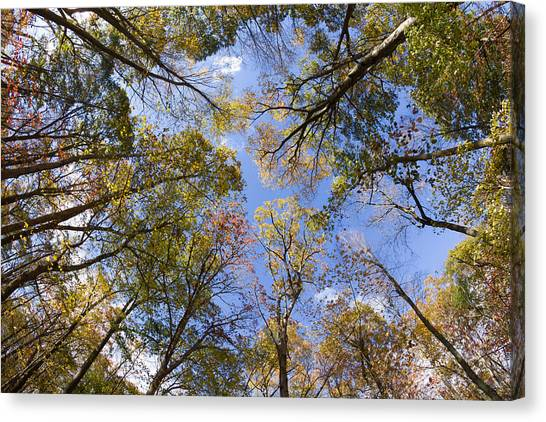 Fall Foliage - Look Up 2 Canvas Print
