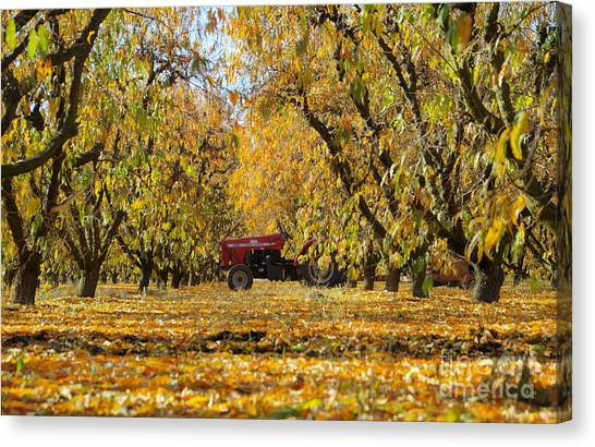 Fall In The Peach Orchard Canvas Print