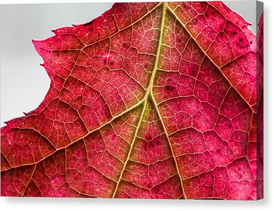 Fall Leaf Canvas Print
