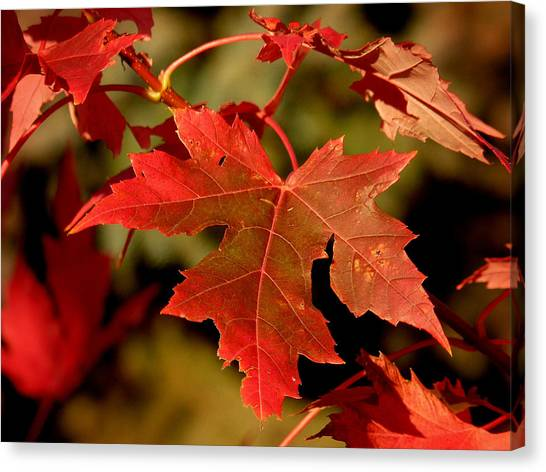 Fall Red Beauty Canvas Print