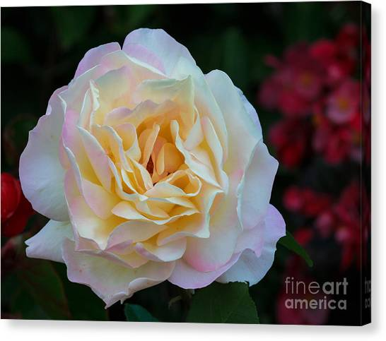 Fall Rose Bloom Canvas Print