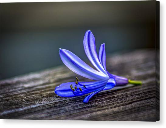 Lily Canvas Print - Fallen Beauty by Marvin Spates