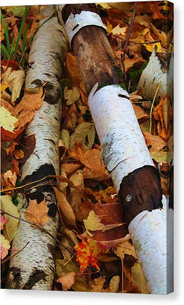 Fallen Birch Canvas Print