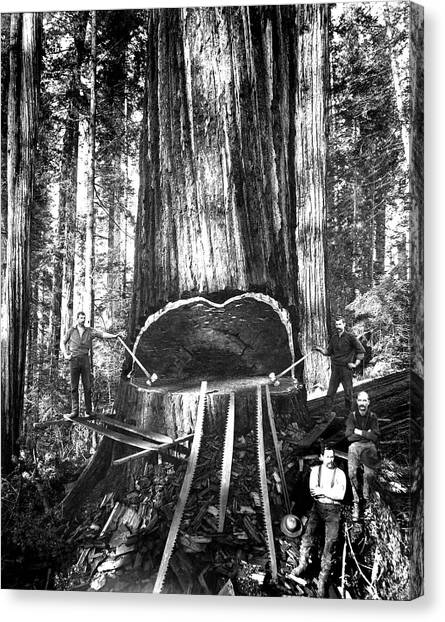 Falling A Giant Sequoia C. 1890 Canvas Print