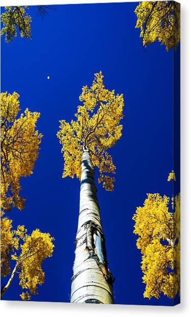 Aspen Tree Canvas Prints Fine Art America