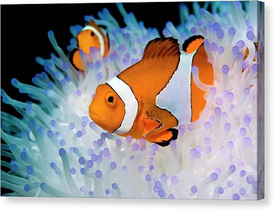 Anemonefish Canvas Print - False Clown Anemonefish by Georgette Douwma/science Photo Library