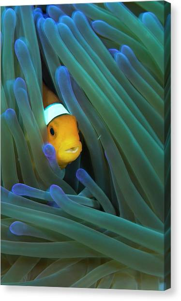 Anemonefish Canvas Print - False Clown Anemonefish by Scubazoo/science Photo Library