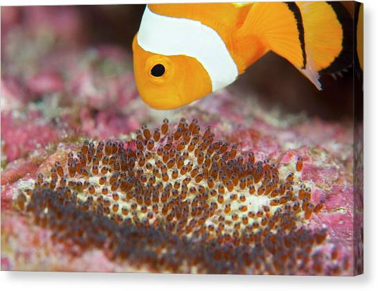 Anemonefish Canvas Print - False Clown Anemonefish Tending Its Eggs by Scubazoo/science Photo Library