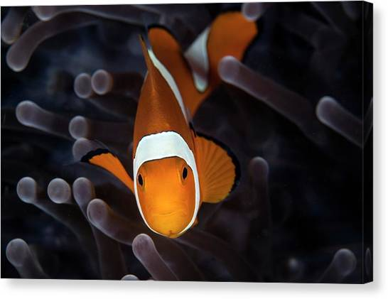 Clownfish Canvas Print - False Clownfish by Ethan Daniels
