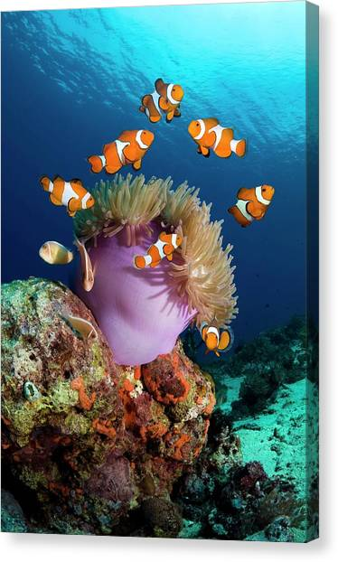 Clownfish Canvas Print - False Clownfish by Georgette Douwma