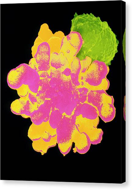 False-col Sem Of T-lymphocyte Killer Cell Canvas Print by Dr Andrejs Liepins/science Photo Library