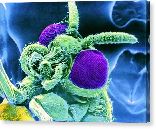 Gnats Canvas Print - False-colour Sem Of Head Of Black Fly by Cnri/science Photo Library