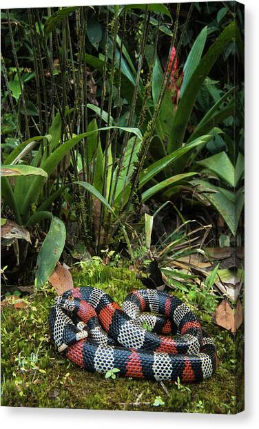 Coral Snakes Canvas Print - False Coral, Milk Snake (lampropeltis by Pete Oxford