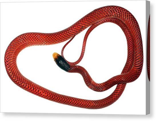 Coral Snakes Canvas Print - False Coral Snake by Dr Morley Read/science Photo Library
